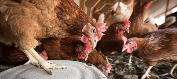 hühnerställe