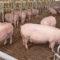 Bis 70 Euro Verlust pro Schwein: Klöckner lädt zum Krisengipfel